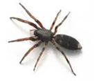 White Tail Spider