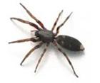 White Tail Spider